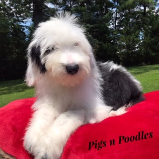Sheepadoodle Puppies Available Now Near Me
